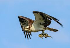 Osprey catch 2 (SusieMSB7) Tags: birds nature osprey