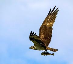 Osprey catch 1 (SusieMSB7) Tags: birds nature osprey