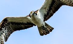 Osprey eyes (SusieMSB7) Tags: nature birds osprey
