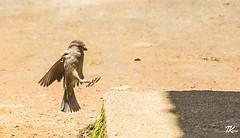 Caught this random shot of this little guy landing at Nuwara Eliya. #TKclicks #wanderlust #bird #birds #birdextreme #kings_birds #birdstagram #animalsaddict #instabird #instabirds #instagood #instadaily #nuwaraeliya #srilanka #lka #birdings #birdslovers # (TKClicks) Tags: ifttt instagram caught this random shot little guy landing nuwara eliya tkclicks wanderlust bird birds birdextreme kingsbirds birdstagram animalsaddict instabird instabirds instagood instadaily nuwaraeliya srilanka lka birdings birdslovers pocketbirds birdphotography animalsultans igbirds birdlover naturelover nature nikon nikontop