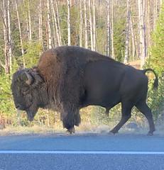 Bison (mahar15) Tags: buffalo animal nature outdoors bison