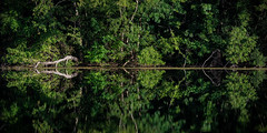 Racines et Reflet (LonánWL) Tags: canoneos200d sigma70200f28dgoshsmsports wood woodscape landscape nature reflection trees root forest water green outdoor outside bois forêt arbres eau reflet dehors exterieur panorama feuille leaves leaf feuilles tree arbre