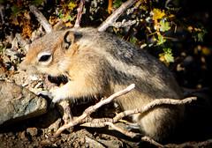 Chipmunk (mahar15) Tags: outdoors animal chipmunk rodent nature