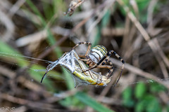 _DSC1308 (Inapapel) Tags: 100mm 2019 bioaniztasuna biodiversidad bitxos bizkaia d850 flickr nature nikon spider macro closeup