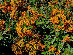 Goodbye Summer (Chuckcars) Tags: colorado montrose carstensen fujifilm fujinon 365 gallery psa assignment pyrocantha bush berrie summer