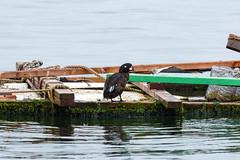 Harlequin Duck (Bill Clark_photos) Tags: pelagic birds shearwater pacific ocean