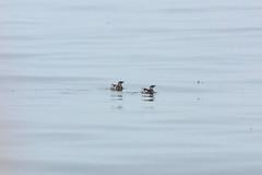 Marbled Murelets (Bill Clark_photos) Tags: pelagic birds shearwater pacific ocean