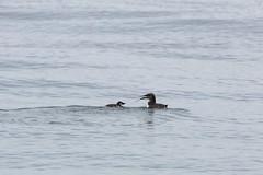 Common Murre (Bill Clark_photos) Tags: pelagic birds shearwater pacific ocean