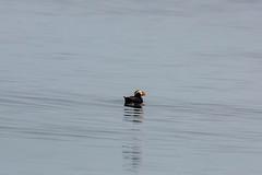 Tufted Puffin (Bill Clark_photos) Tags: pelagic birds shearwater pacific ocean