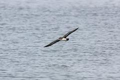 Pink-footed Shearwater (Bill Clark_photos) Tags: pelagic birds shearwater pacific ocean