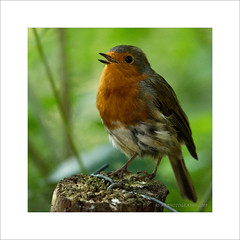 Robin Sings (prendergasttony) Tags: avian rspb bird beak border birdwatching birding robin pennington post nikon d7200 tonyprendergast elements nature northwest singing young wildlife wild wings