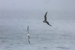 Sabine Gull and Long-tailed Jaeger (Bill Clark_photos) Tags: pelagic birds shearwater pacific ocean