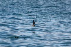 Pomarine Jaeger (Bill Clark_photos) Tags: pelagic birds shearwater pacific ocean