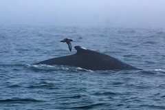 Humpback Whales and Sooty Shearwater (Bill Clark_photos) Tags: pelagic birds shearwater pacific ocean