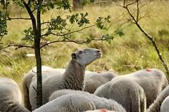 Looking for the best food (ToJoLa) Tags: 2019 canon canoneos60d schapen schaap sheep schaapskooi maasduinen well zomer summer ontrack wandeling white curious hungry animal dier natuurgebied natuurgebieddemaasduinen nature natuur