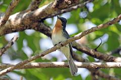 Leaden Flycatcher, female (Myiagra rubecula) Серебристая миагра (Mikhail & Yana) Tags: leadenflycatcher myiagrarubecula серебристаямиагра bird birdsofaustralia nature wildlife