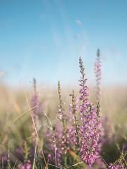 Heather of Nationalpark Thy (Brian Dalgaard Mikkelsen) Tags: nature denmark lyng heather