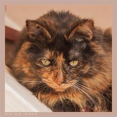 DSC06948 Easy (Olpo2vin) Tags: cat chat yeux eyes regard look félin feline olpo easy poils fourrure redessan 30129 animaldecompagnie vibrisses