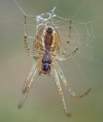 cf tetragnathidae (BSCG (Badenoch and Strathspey Conservation Group)) Tags: nblett spider september tetragnathidae