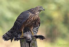 Gos Hawk (Nigel Hodson) Tags: canon 1dxmkii 600mmf4ii gos goshawk rapture birdofprey birds birdphotography bird nature naturephotography wildlife wildlifephotography