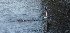 Black-headed Gull in flight (Chroicocephalus ridibundus) (Selina Mochrie) Tags: scotland uk balloch park lomond shores bird avian species wildlife nature outdoors water feathers beak blackheaded gull flight wings