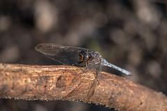 Libellule grise canne. (CAZAUX) (jean-marcvalette) Tags: macro nature animaux insectes libellule dragonfly odonate animals