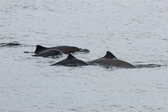 Harbor Porposes (Bill Clark_photos) Tags: pelagic birds shearwater pacific ocean