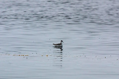 Red-necked Phalarope (Bill Clark_photos) Tags: pelagic birds shearwater pacific ocean
