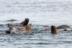 20190809HalfMoonPelagic174 (Bill Clark_photos) Tags: pelagic birds shearwater pacific ocean