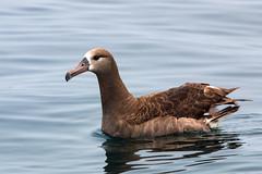 Black-footed Albatross (Bill Clark_photos) Tags: pelagic birds shearwater pacific ocean