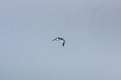 Sabine Gull (Bill Clark_photos) Tags: pelagic birds shearwater pacific ocean
