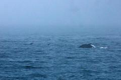 Pacific White-sided Dolphin (Bill Clark_photos) Tags: pelagic birds shearwater pacific ocean