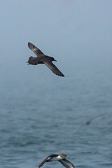 Sooty and Pink-Footed Shearwater (Bill Clark_photos) Tags: pelagic birds shearwater pacific ocean