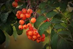 more signs of autumn (EllaH52) Tags: rowan rowanberries orange tree branches leaves autumn bokeh light shadows
