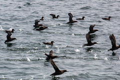 Sooty Shearwaters (Bill Clark_photos) Tags: pelagic birds shearwater pacific ocean