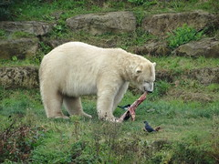 Sunday Lunch (Pixel) (LadyRaptor) Tags: yorkshirewildlifepark yorkshire wildlife park doncaster ywp nature outdoors autumn time grass rock rocks hill wild birds jackdaw magpie scavengers watching looking eat eating nom dine dining tearing stretching mouth jaws food meal mealtime meat lunch dinner snack happy content cute animal animals predator carnivore caniformia ursidae polarbear polarbears male polar bear bears ursus maritimus projectpolar pixel