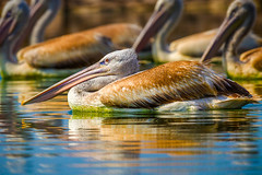 over the top (Rajiv Lather) Tags: overthetop pelicans dalmatianpelican india indian birds birding birder nature wildlife outdoors aves avian avifauna birdwatching gujarat colorful reflection image photograph photos pics hobby pelecanuscrispus swimming water bokeh outside sunset light vögel art design picture blue