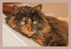 DSC06944 Easy (Olpo2vin) Tags: cat chat yeux eyes regard look félin feline olpo easy poils fourrure redessan 30129 animaldecompagnie vibrisses