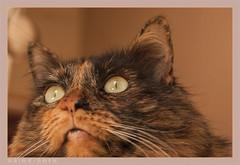 DSC06959 Easy (Olpo2vin) Tags: cat chat yeux eyes regard look félin feline olpo easy poils fourrure redessan 30129 animaldecompagnie vibrisses