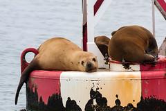 Stellar Sea Lions (Bill Clark_photos) Tags: pelagic birds shearwater pacific ocean