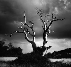 . (AnneStany) Tags: trees arbre nature blackwhite noirblanc monochrome