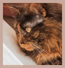 DSC06952 Easy (Olpo2vin) Tags: cat chat yeux eyes regard look félin feline olpo easy poils fourrure redessan 30129 animaldecompagnie vibrisses