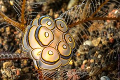 P8275979-L-2000 (Herminio Photography) Tags: macro closeup nature animal multicolored decoration insect invertebrate animalshell sea sealife underwater backgrounds reef animalsandpets nopeople wildlife