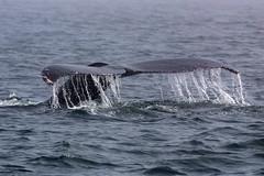 Humpback Whales (Bill Clark_photos) Tags: pelagic birds shearwater pacific ocean