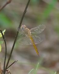 Wandering Glider (Mikael Behrens) Tags: mikaelbehrens austin wildlife texas insect dragonfly neighborhood unitedstatesofamerica