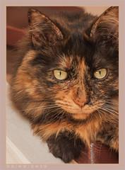 DSC06949 Easy (Olpo2vin) Tags: cat chat yeux eyes regard look félin feline olpo easy poils fourrure redessan 30129 animaldecompagnie vibrisses