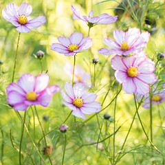 Summer Cosmos (photoart33) Tags: cosmos flowers summer soft pastel light dreamy square