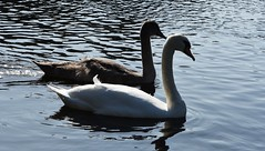 Mute Swan and Juvenile (Cygnus olor) (Selina Mochrie) Tags: scotland uk balloch park lomond shores bird avian species wildlife nature outdoors water feathers beak mute swan elegant juvenile young family