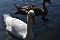 Mute Swan close-up (Cygnus olor) (Selina Mochrie) Tags: scotland uk balloch park lomond shores bird avian species wildlife nature outdoors water feathers beak mute swan elegant juvenile young family
