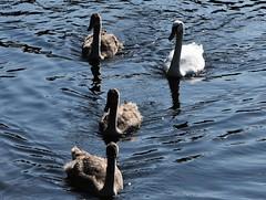 Mute Swan Family (Cygnus olor) (Selina Mochrie) Tags: scotland uk balloch park lomond shores bird avian species wildlife nature outdoors water feathers beak mute swan elegant juvenile young family